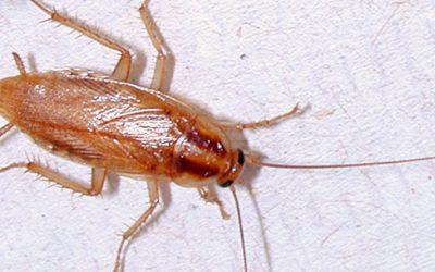 Evite a presença destes insetos repugnantes no imóvel, realize já uma dedetização de baratas francesinhas no RJ.