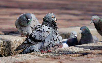Evite danos materiais e para a saúde, realizando um afastamento de pombos no RJ.