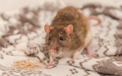 Para que os roedores não causem danos diversos, efetue já uma dedetização de ratazanas no RJ.