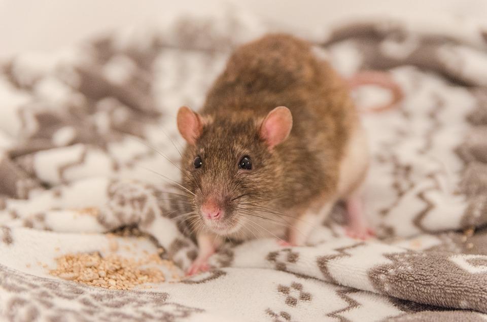 dedetização de ratazanas no RJ