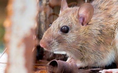 Cuidado com a infestação de ratos na pandemia do coronavírus