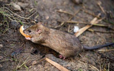 Controle de ratos no Rio de Janeiro